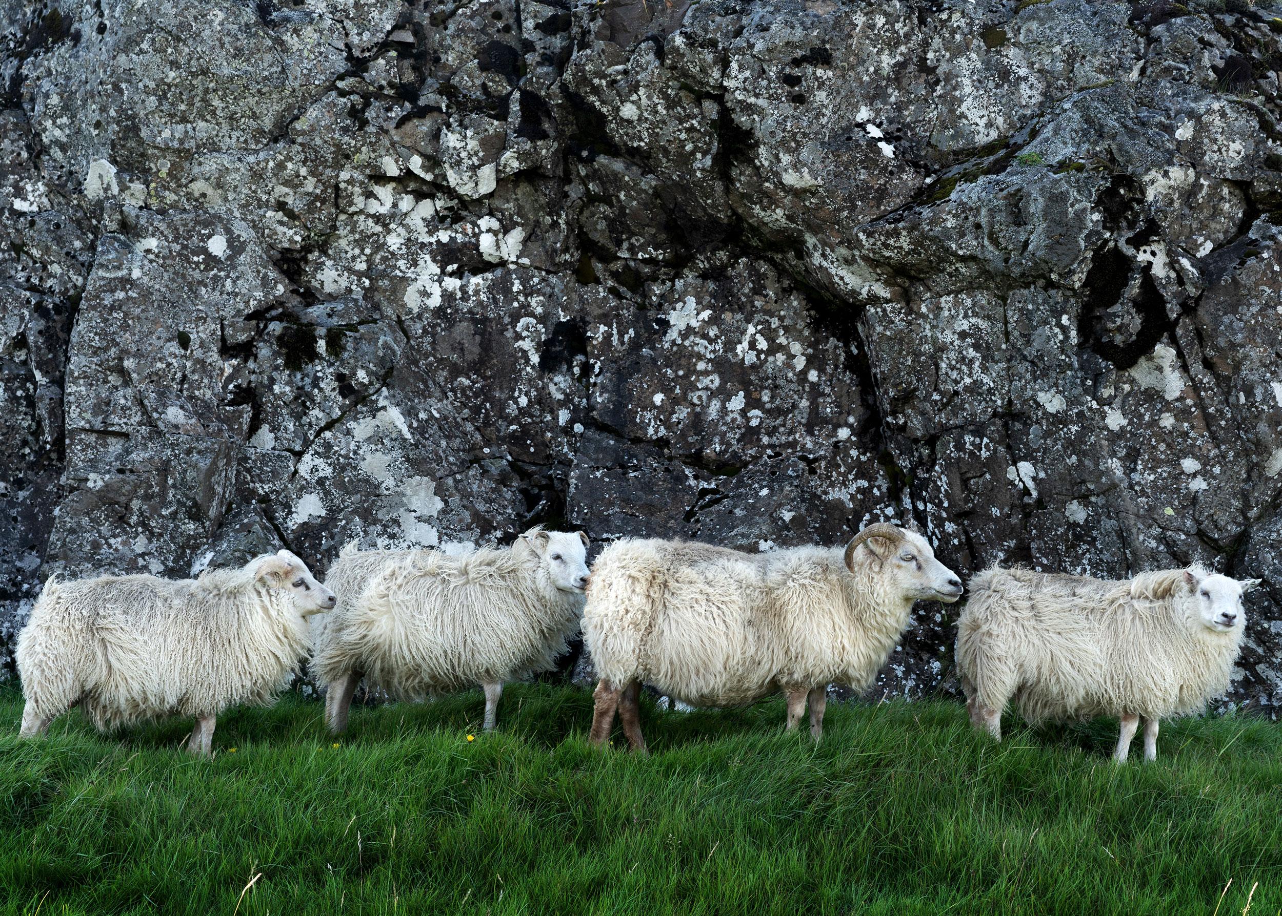 4 Schafe