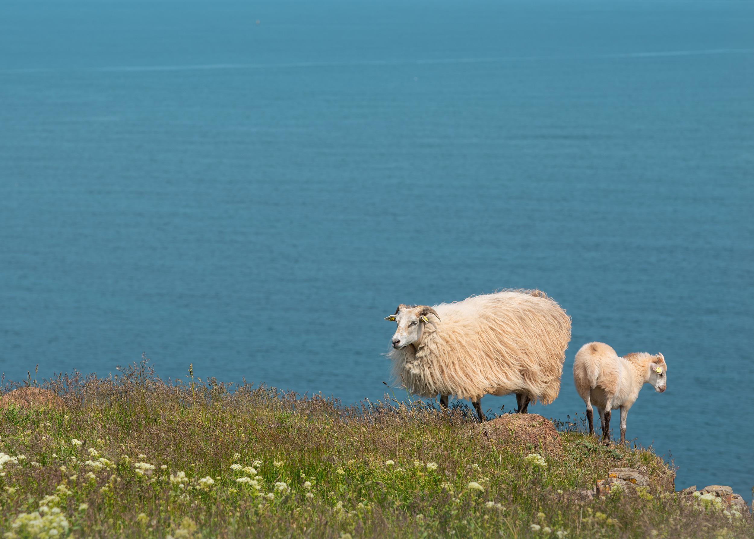 2 Schafe am Meer
